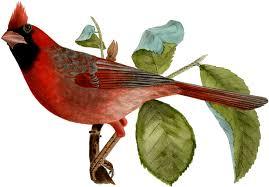 beautiful cardinal bird image the graphics fairy