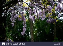 wisteria sinensis australian bush flower purple wisterias stock photos u0026 purple wisterias stock images alamy