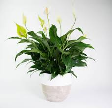 peace lily peace lily in concrete dipped pot plantandpot nz