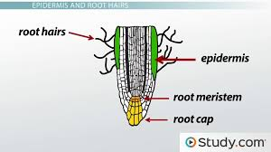 primary root tissue root hairs and the plant vascular cylinder