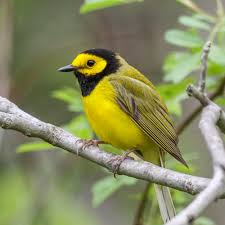 Ohio birds images Ohio ornithological society ohio 39 s statewide birding network jpg