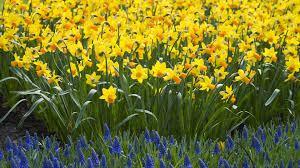 daffodil flower wallpaper