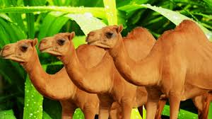 camel cartoon camel fight camel cartoons for children animal