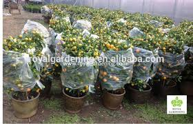 citrus mitis citrofortunella microcarpa orange tree 90 100cm