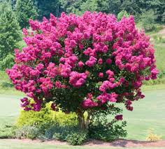 pink velour crape myrtle trees for sale fast growing trees
