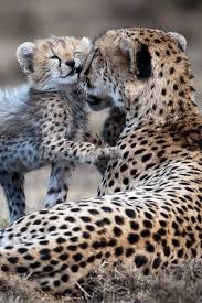 affectionate cheetahs wallpapers 181 best cheetah love images on pinterest big cats baby