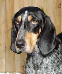 bluetick coonhound puppies illinois bluetick coonhound dog for adoption in ontario on adn 552298 on