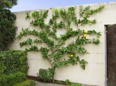 star jasmine on trellis i u0027m on a roll here some more ideas for making a wall look