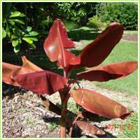 going bananas of homestead florida banana banana plant descriptions