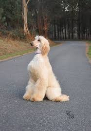 afghan hound club of st louis anyone around wexford in ireland please share these pics need to