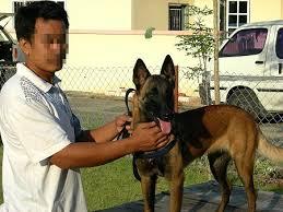 belgian shepherd malaysia k9 schutzhund guard protection police dog malaysia thailand