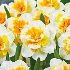 41 best daffodils images on pinterest daffodils flowers and