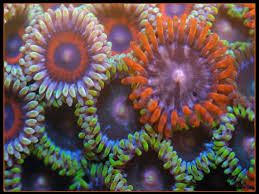 where can i buy candy apple mix 80 best zoanthids so many colors my favorite coral images on