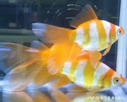 64 best pondfish images on goldfish aquariums