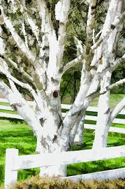 white birch trees country fence painting by tracie kaska
