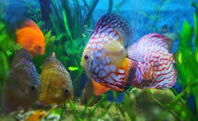 offerhut lk ornamental fish sri lankan best offer 642017 05 22 04 12 15573 jpg