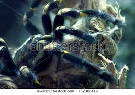 tarantula spider stock images royalty free images u0026 vectors