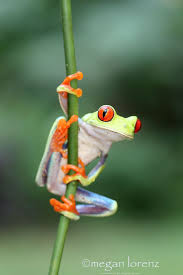 260 best red eyed tree frogs images on pinterest red eyed tree