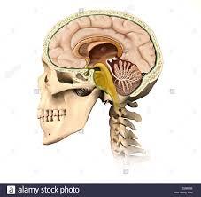 Anatomy And Physiology Ear Physiology Cutaway View Stock Photos U0026 Physiology Cutaway View