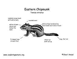 chipmunk eastern