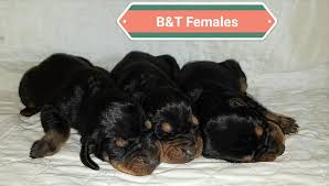 bluetick coonhound puppies for sale in texas dry fork kennels home facebook