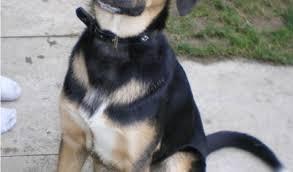 belgian shepherd x labrador layla u2013 5 6 year old female german shepherd labrador cross dog for