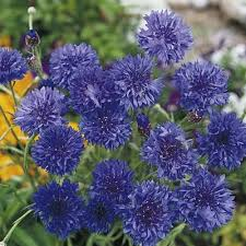 corn flower blue cornflower seeds blue diadem all flower seeds flower seeds