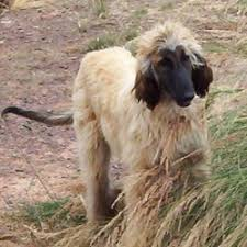 afghan hound breeders qld soul companions saluki u0026 sighthound rescue