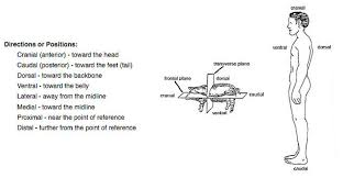 Planes And Anatomical Directions Worksheet Answers Fetal Pig Dissection Droge Land