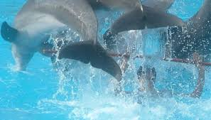 Male Dolphin Anatomy How Do Dolphins Mate Sciencing