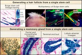 Stem Cells Hair Loss Epithelial Stem Cells Turning Over New Leaves Cell