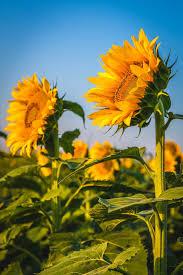 Denver International Airport Murals Pictures by Sunflower Sunrise I Sunflower Fields Near Denver International