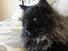 ty buddy it seems to be the black siberian cat 111999736