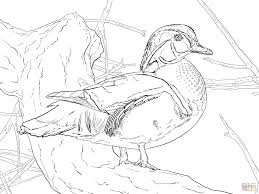 wood duck drake coloring page free printable coloring pages