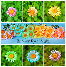 twig and toadstool rainbow dyed daisies