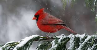 North Carolina birds images Cardinal state bird of north carolina north carolina pictures jpeg