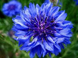 cornflower blue inspirational cornflower blue eyeshadow modern woc