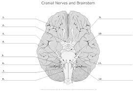 Quiz Anatomy Label The Cranial Nerves Quiz By Bakerjasm