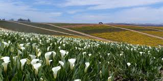 The Month Of June Flower - june bloom our calla lily fields are a sight to see
