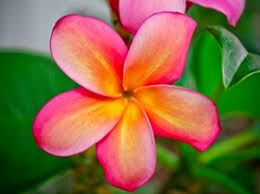 Plumerias Just Plumeria News Events Page