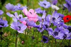 anemones flowers anemone flower meaning flower meaning