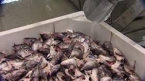 pesci alimentazione collezione riguardo fabbrica lavorazione pesce kj禪llefjord