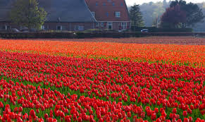 Tulip Field Tulip Field In Netherlands Free Stock Photo Public Domain Pictures