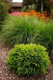 top 25 best dwarf plants ideas on pinterest dwarf evergreen