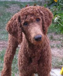 pictures of poodle haircuts 30 poodle haircuts you ll definitely love hairstylec