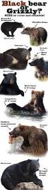 best 25 black bear ideas on pinterest cute bears bears and black bear or grizzly bear infographic well because you should know
