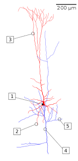 chandelier cells pyramidal cell