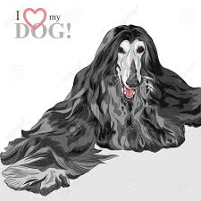 afghan hound of america 294 afghan hound stock vector illustration and royalty free afghan