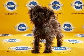 affenpinscher illinois puppy bowl xii u2013 starting lineup puppy bowl animal planet
