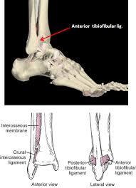 Anterior Distal Tibiofibular Ligament 1 09 Posterior Leg Ankle Joint Anatomy Flashcards Memorang